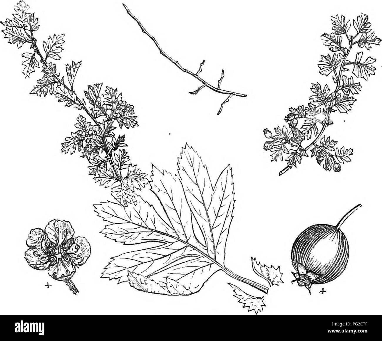 . Los árboles y arbustos : una versión abreviada del Arboretum et fruticetum britannicum : contienen los hardy schrubs y árboles de Gran Bretaña, nativos y extranjeros, y científicamente descrito popular : con su propagación, cultivo y usos y grabados de casi todas las especies. Los árboles, los arbustos, los bosques y la silvicultura. XXVI. BOSA^^ :'CE CRATa;^GUS. 373. 6S9. C. t. glkbra. más llamativo en apariencia, desde sus grandes y follaje profundamente cortados, y su fuerte, vertical, vigorosos retoños.. Por favor tenga en cuenta que estas imágenes son extraídas de la página escaneada imágenes que podrían haber sido mejoradas digitalmente para mejorar la legibilidad Foto de stock