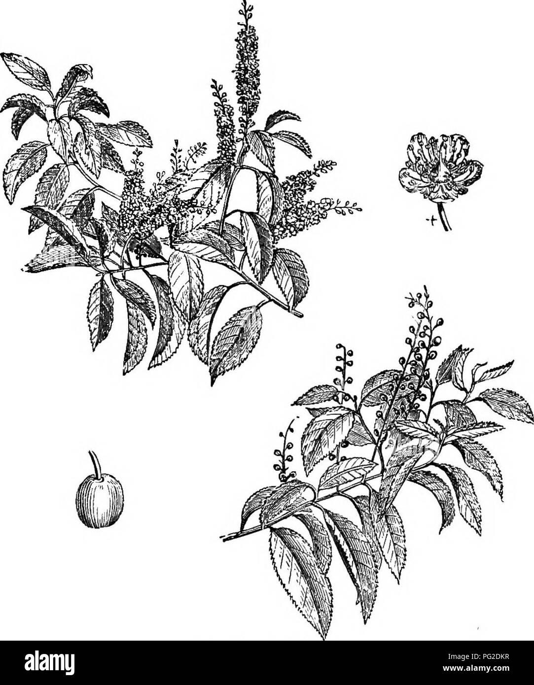 """. Los árboles y arbustos : una versión abreviada del Arboretum et fruticetum britannicum : contienen los hardy schrubs y árboles de Gran Bretaña, nativos y extranjeros, y científicamente descrito popular : con su propagación, cultivo y usos y grabados de casi todas las especies. Los árboles, los arbustos, los bosques y la silvicultura. XXVI. BosA^cE^: ce'rasus. 295. 481. C^rasus lusltiinica. Observa, es su ser """" tan robusto como desafiando el frío más severas de este país; para, en las duras heladas de 1740, cuando casi todos los otros árboles y arbustos perennes fue severamente aplastados, el Portugal laureles conservaron su v Foto de stock"""