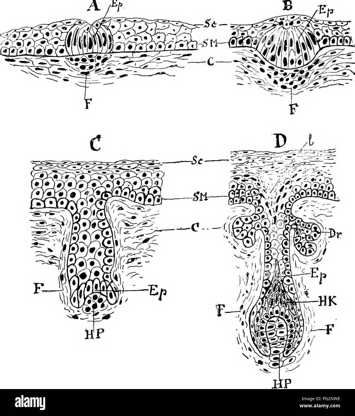 Follicular Cells Imágenes De Stock & Follicular Cells Fotos De Stock ...