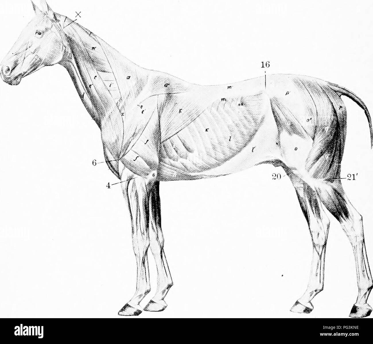 . El caballo en la salud y la enfermedad: un libro de texto relativos a la ciencia veterinaria para estudiantes de agricultura . Los caballos; los caballos. Capítulo III EL SISTEMA muscular de los músculos del cuerpo eoin|)risc tho carne o carne magra y la parte muscular de las paredes del estómago, intestinos y otros. Quin?. S.-capa superficial de los músculos: x, ala de Atlas; 2, columna vertebral de la escápula; 4, C(jndyle del húmero; 6, tuberosidad deltoidea; 8, olécranon; 10, ángulo externo de Ilión; 20, patella; 21', el cóndilo lateral de la tibia. (Ellenberger-Baum, Anat. fiir Kunstler.) órganos blandos. El sistema muscular es la mayor de todas las Foto de stock