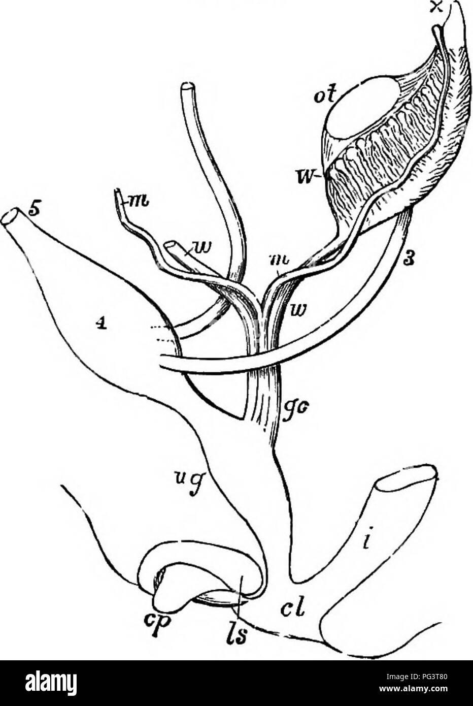 Los elementos de embriología . Embriología. 416 Desarrollo de ...