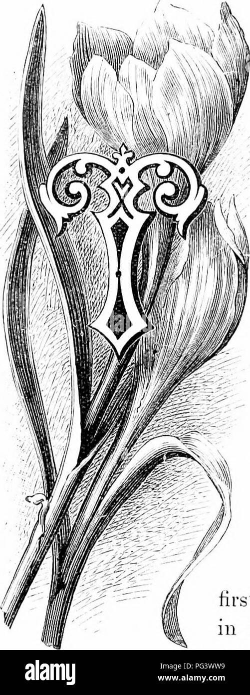 . Las flores del jardín familiar . Flores; Plantas ornamentales; floricultura. El Crocus. Hli esta temporada al azafrán son iu su plena sjilendour es bastante seguro para f;'ive g-lorious us una ráfaga de sol- sliiuc durante un día, o incluso de una semana y, a continuación, expanda las flores a su máximo, y nos sorprende con su esplendor. Thoy parece sorprender a la miel de abejas no menos, por la música que hacen que el cepillo u]) El polen es simplemente la de una multitud de gente de trabajo representan la mitad delirante por el descubrimiento de una mina oold. Y, de hecho, es una mina ijold a ellos o, mejor aún, un pan-Mine, para el polen b Imagen De Stock