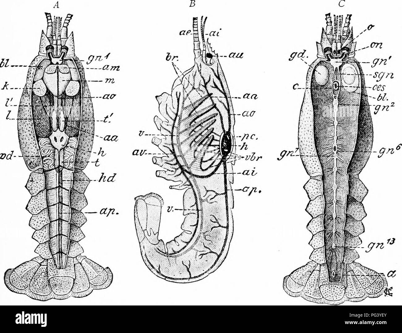 Dorsal Artery Imágenes De Stock & Dorsal Artery Fotos De Stock ...