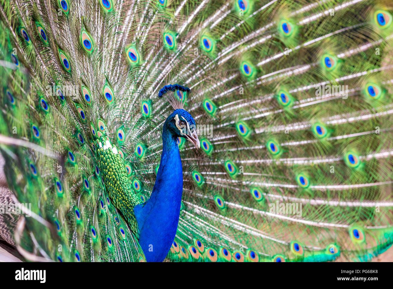 Primer plano de un pavo real Foto de stock