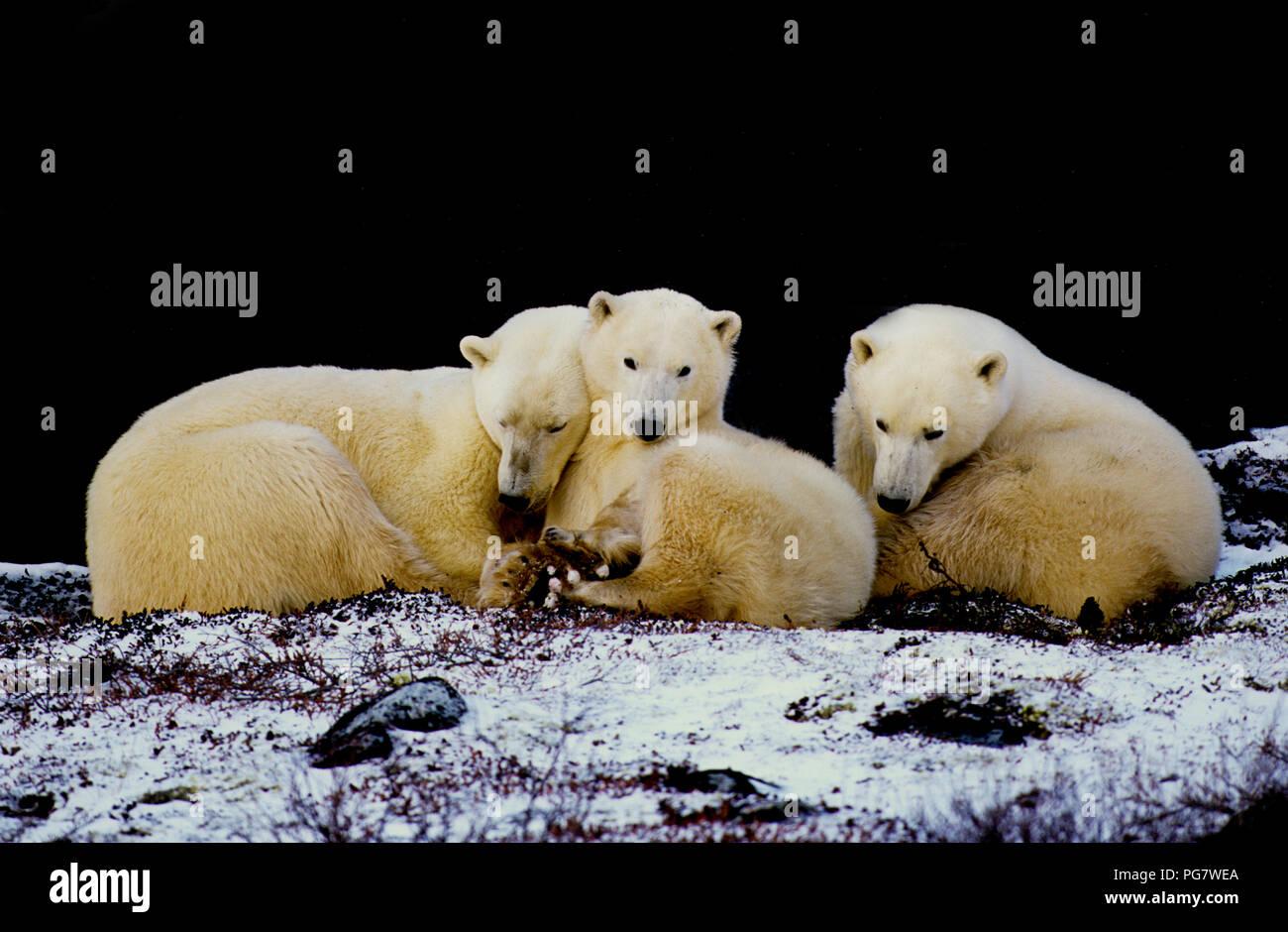 Familia de osos polares (sow con dos yearling cubs; Ursus maritimus) descansando en la sombra de un acantilado cerca de Churchill, Manitoba, Canadá Imagen De Stock