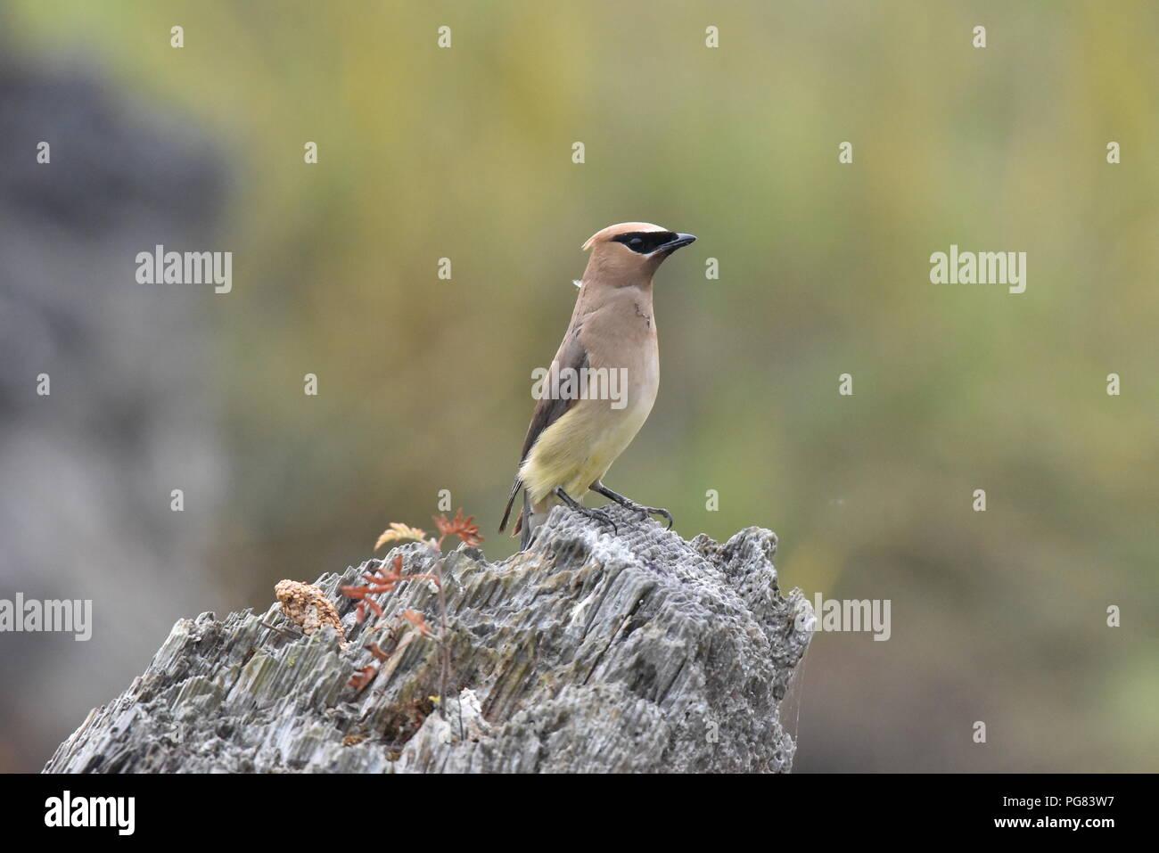 El Cedar Waxwing. El Cedar waxwing es un miembro de la familia Bombycillidae o waxwing familia de aves paseriformes. Es de tamaño mediano, predominantemente de color marrón, Imagen De Stock