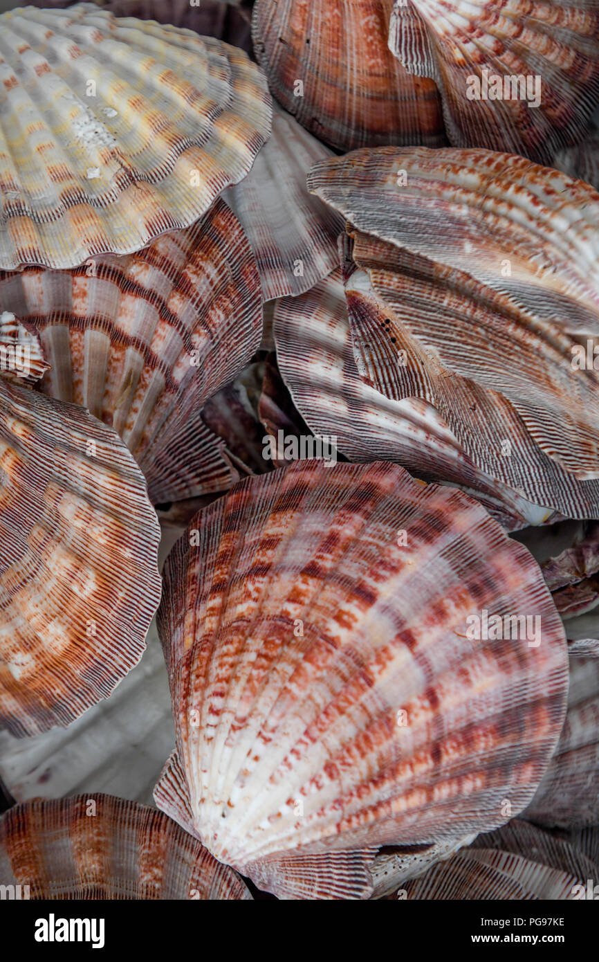 Lion's Paw Paw Leones / vieiras - colección de conchas de moluscos encontrados en Sunset Beach Carolina del Norte Foto de stock