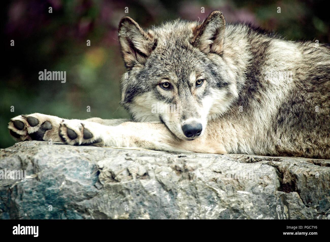 Un lobo gris de las Grandes Llanuras sub especies en el International Wolf Center en Ely, Minnesota. Imagen De Stock