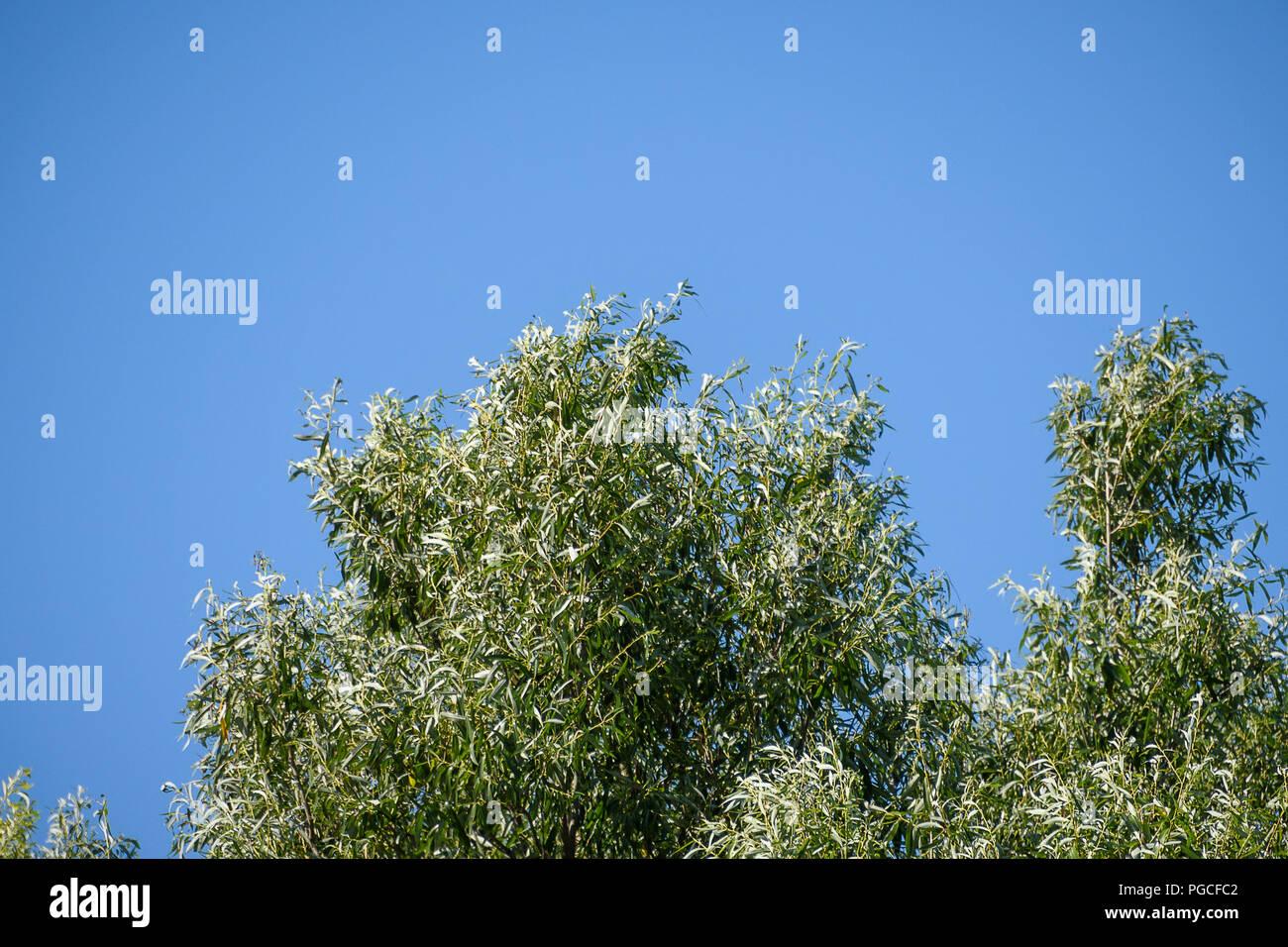 Árboles verdes y cielo azul. Árboles contra el cielo sin nubes Imagen De Stock