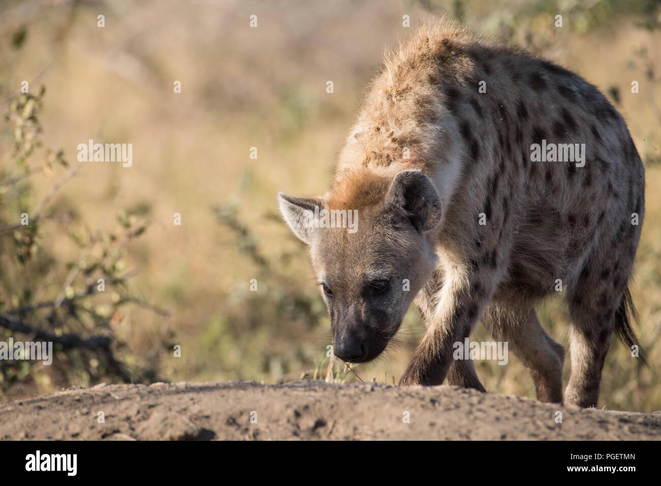 Vista frontal del Spotted Hyena caminando con la cabeza hacia abajo se muestrea el suelo. Imagen De Stock