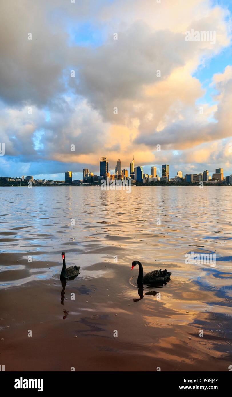 Dos cisnes negros (Cygnus atratus) en el Río Swan al amanecer. Al sur de Perth, Australia Occidental Imagen De Stock