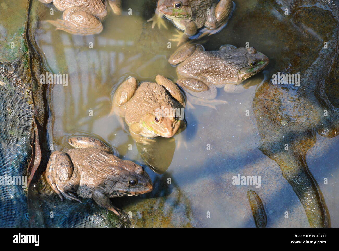 Cría de ranas en estrecha farm Foto de stock