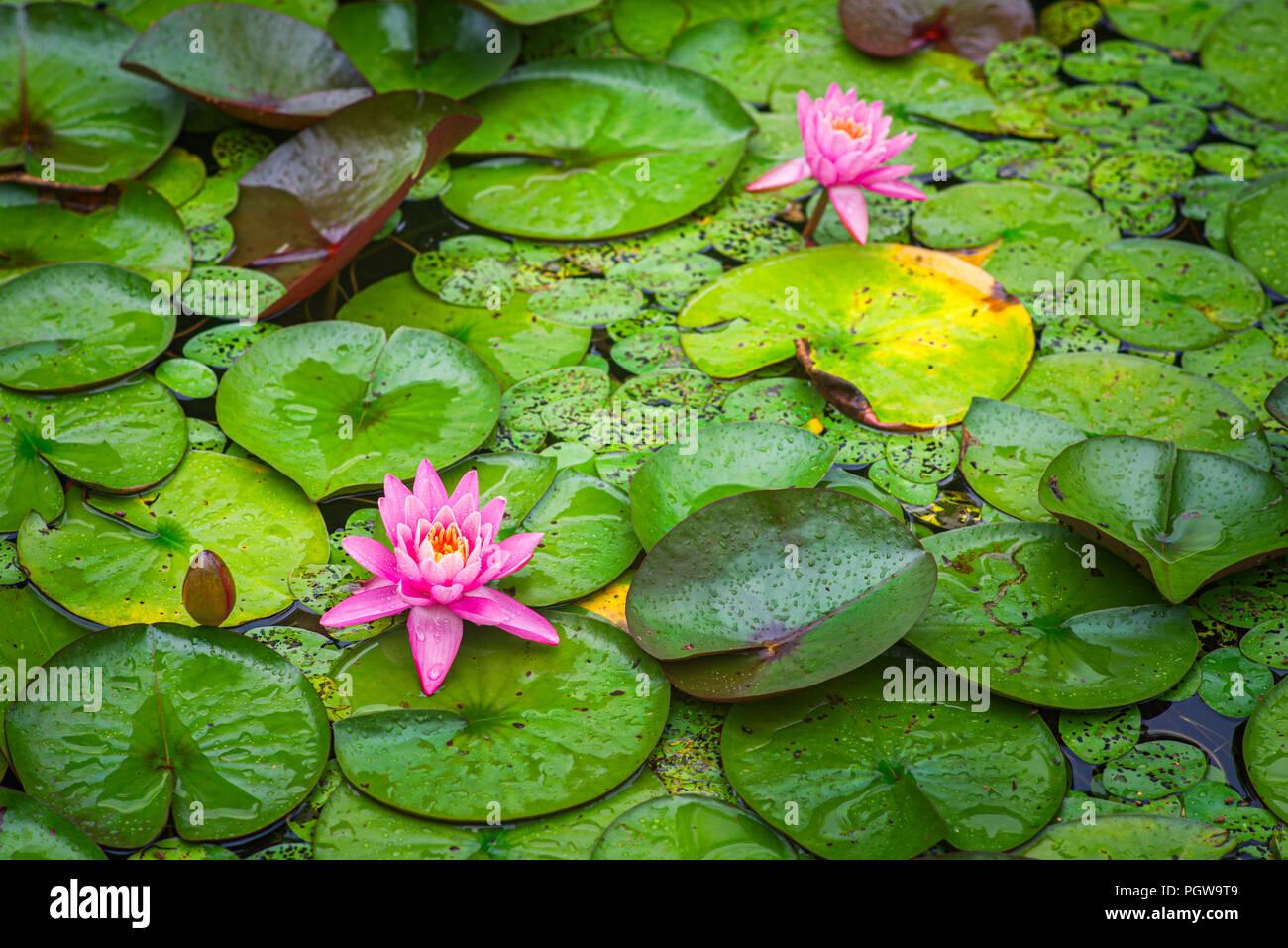 Rosa Flores de nenúfares en flor en Plum Orchard Lake en West Virginia. Foto de stock