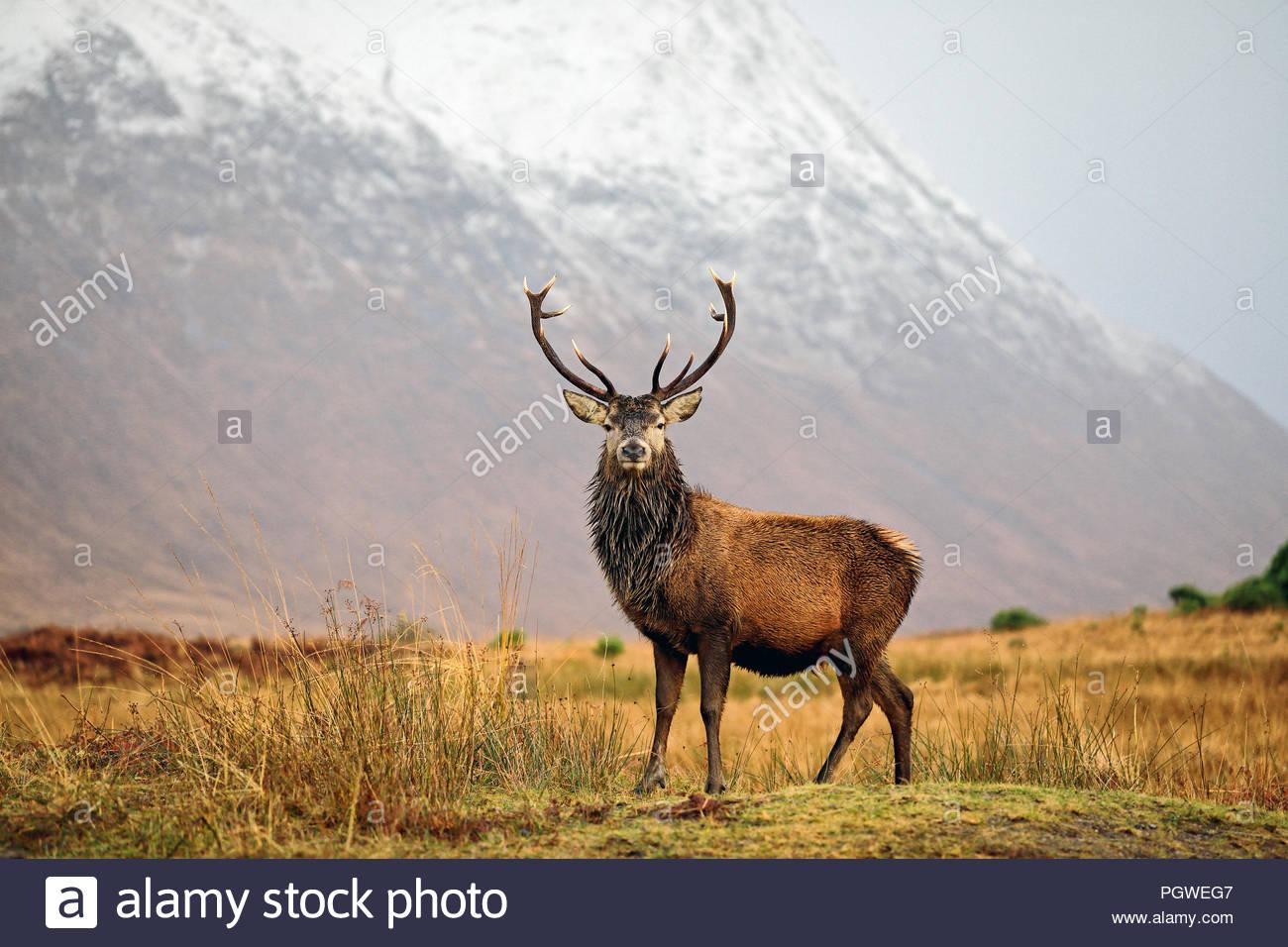 Un majestuoso ciervo ciervo en las Highlands escocesas. Foto de stock