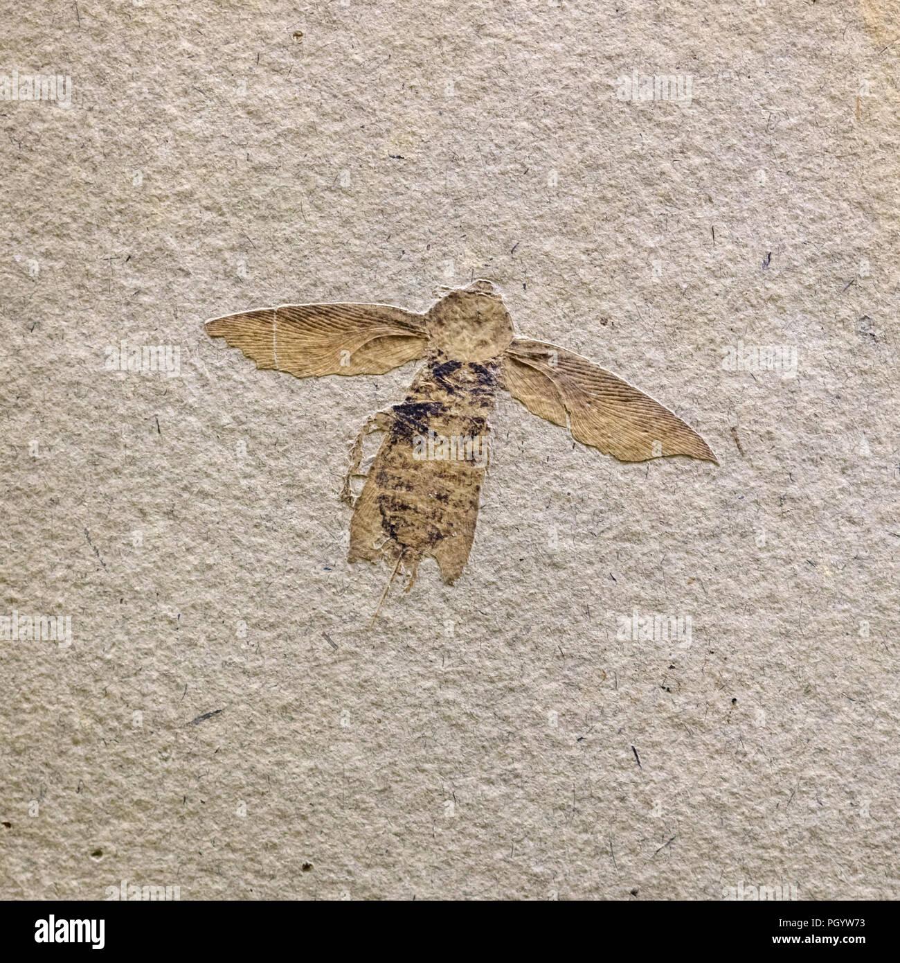 Fósil de insecto, Moscú, museo Paleontológico, Moscú, Rusia Imagen De Stock