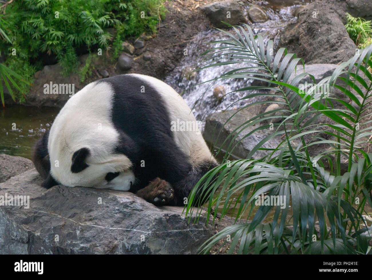 Panda gigante en el Zoológico de Calgary, Alberta, Canadá Imagen De Stock