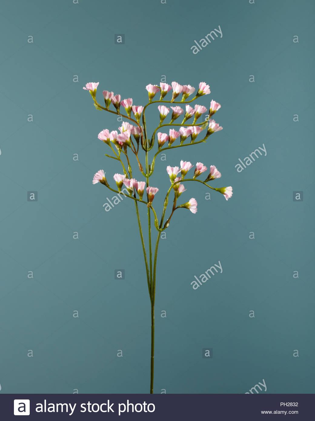 Flores de color rosa en twig Imagen De Stock
