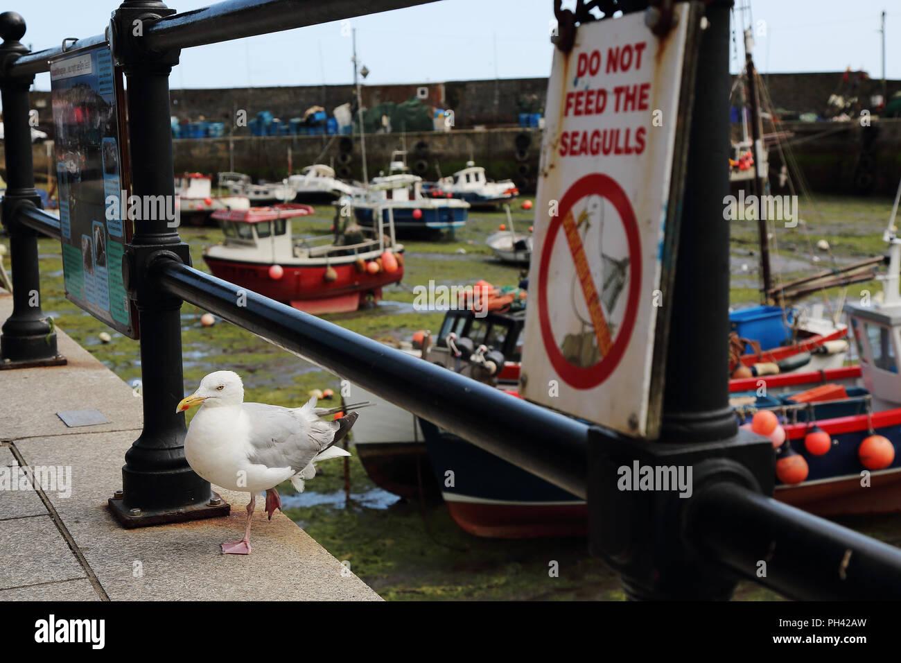 Una gaviota es mediante un anuncio la prohibición de la alimentación de estas aves en Mevagissey Harbor, Cornualles, en el Reino Unido. Imagen De Stock