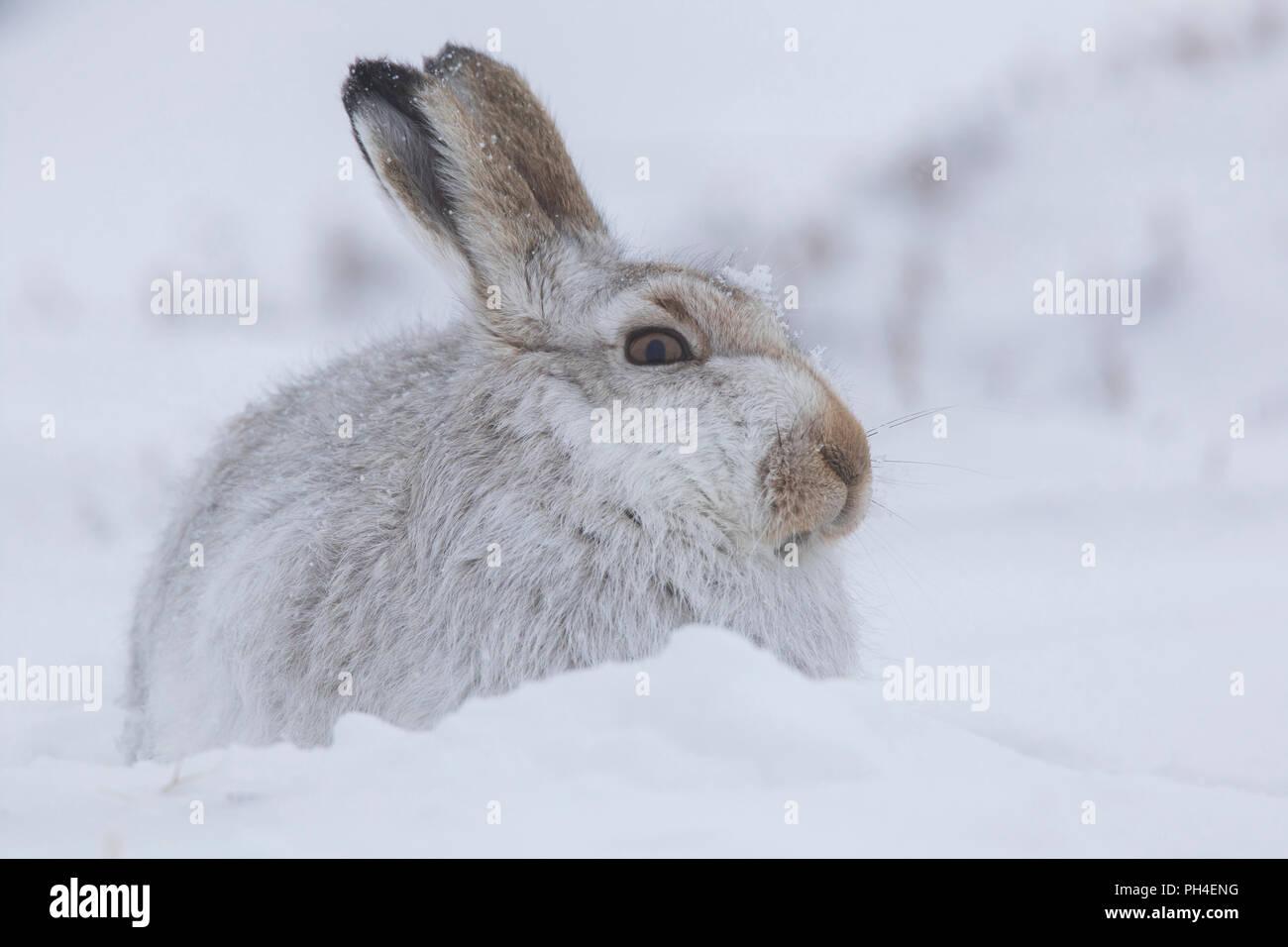 La liebre de montaña (Lepus timidus). Adulto en abrigo blanco (pelaje) en la nieve. El Parque Nacional de Cairngorms, Escocia Foto de stock