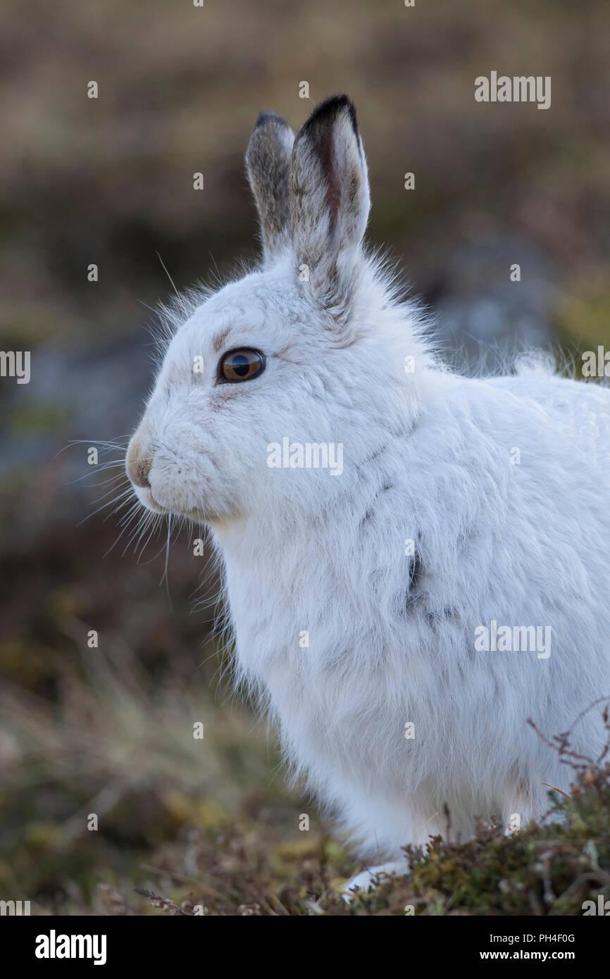 La liebre de montaña (Lepus timidus). Retrato de adulto en abrigo blanco (pelaje). El Parque Nacional de Cairngorms, Escocia Foto de stock