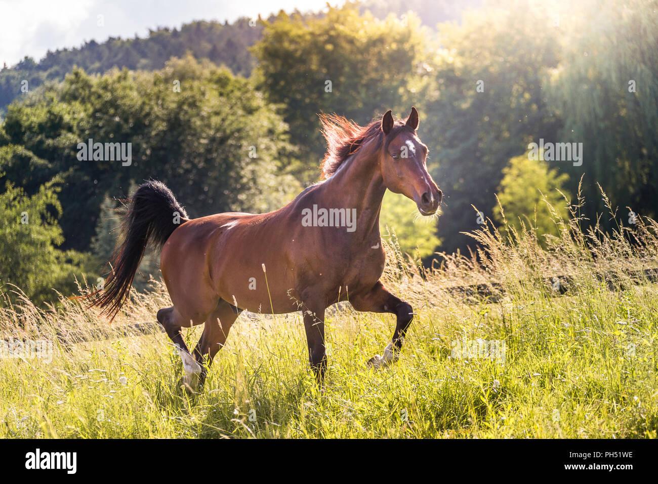 Caballo Árabe. Bay castrado en medio de un prado de trote. Austria Imagen De Stock