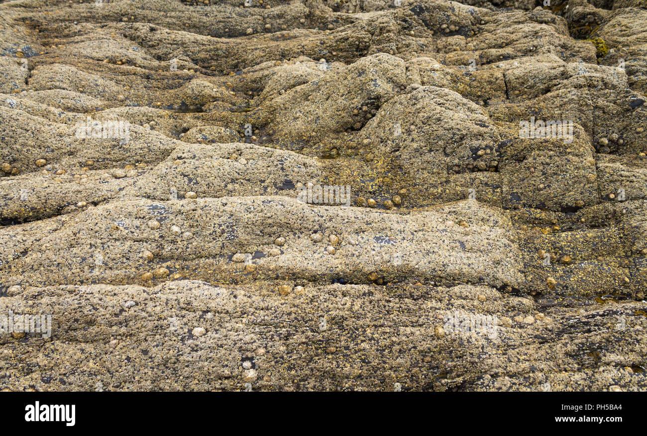 Cirripedia percebe y Patella vulgata lapas común que cubre las rocas en marea baja. Foto de stock