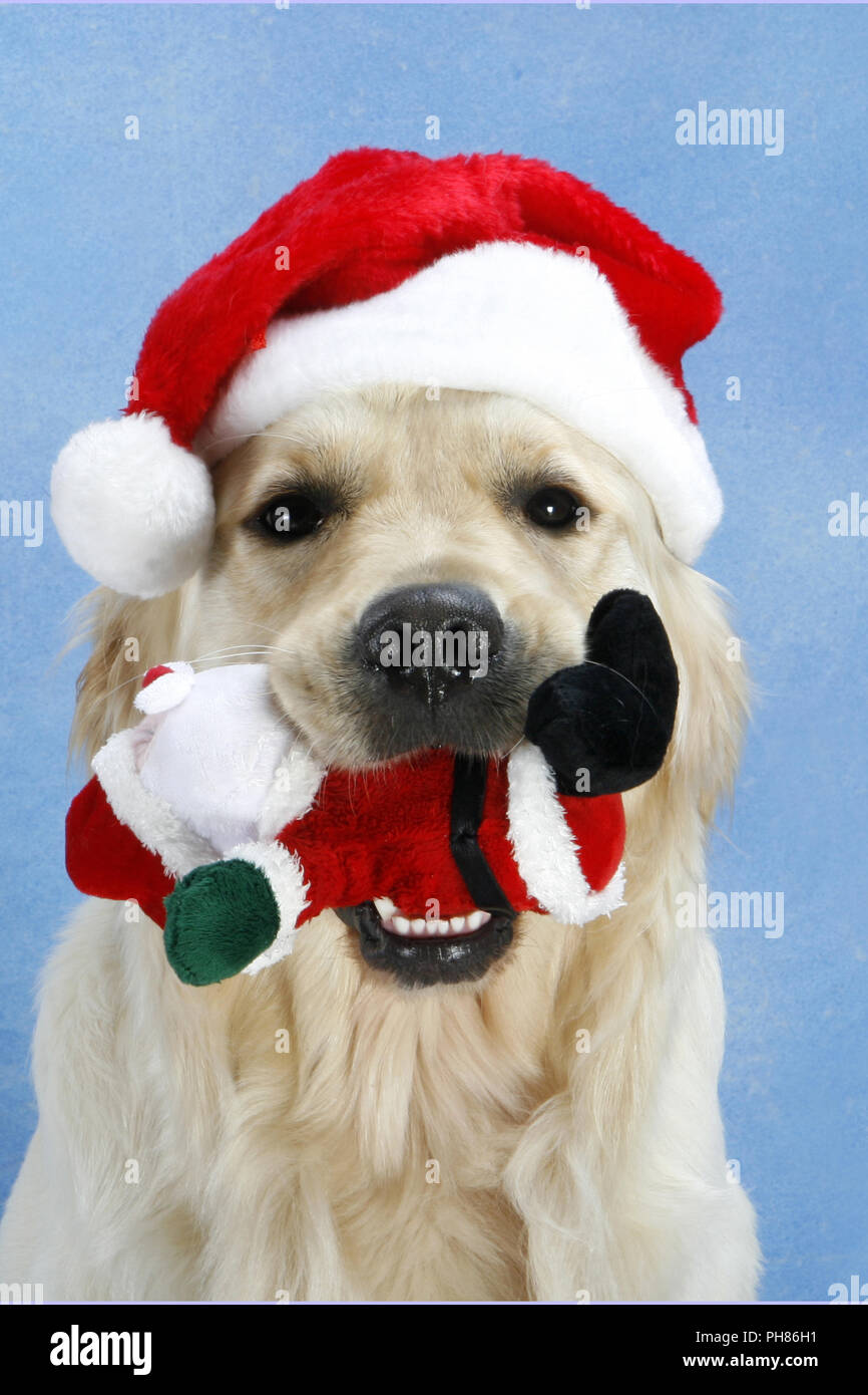 Mit Weihnachtsmuetze Golden Retriever, Golden Retriever con X-Mas cap Imagen De Stock