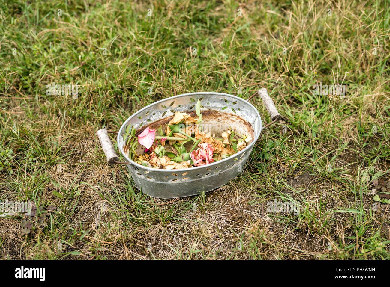 Cortar rosa florezca en un cubo Imagen De Stock