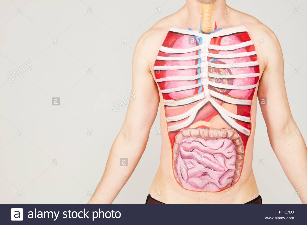 La pintura de los órganos internos del cuerpo del hombre Foto ...