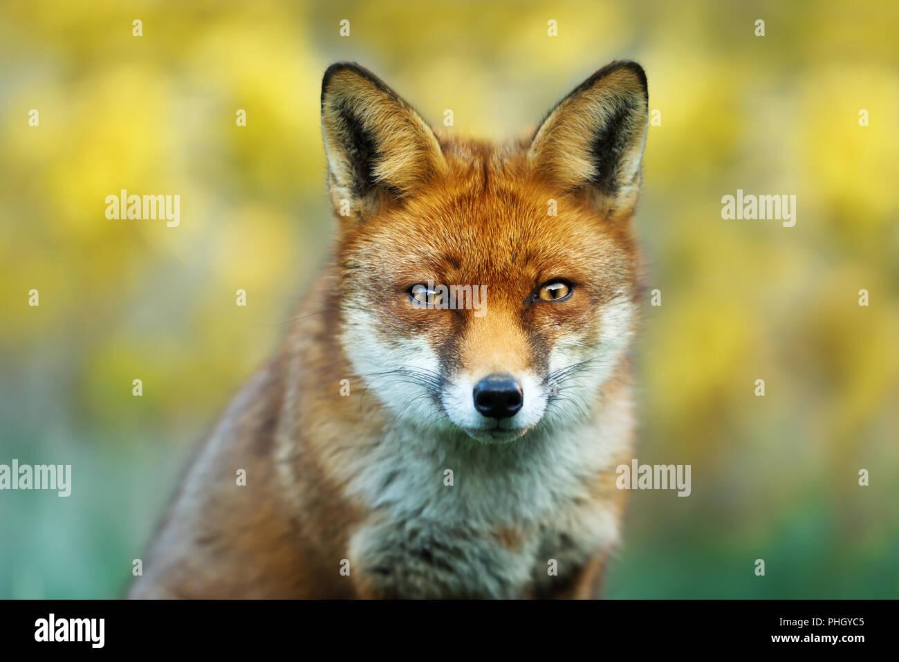 Cierre de un zorro rojo contra un fondo de color amarillo, Reino Unido. Imagen De Stock