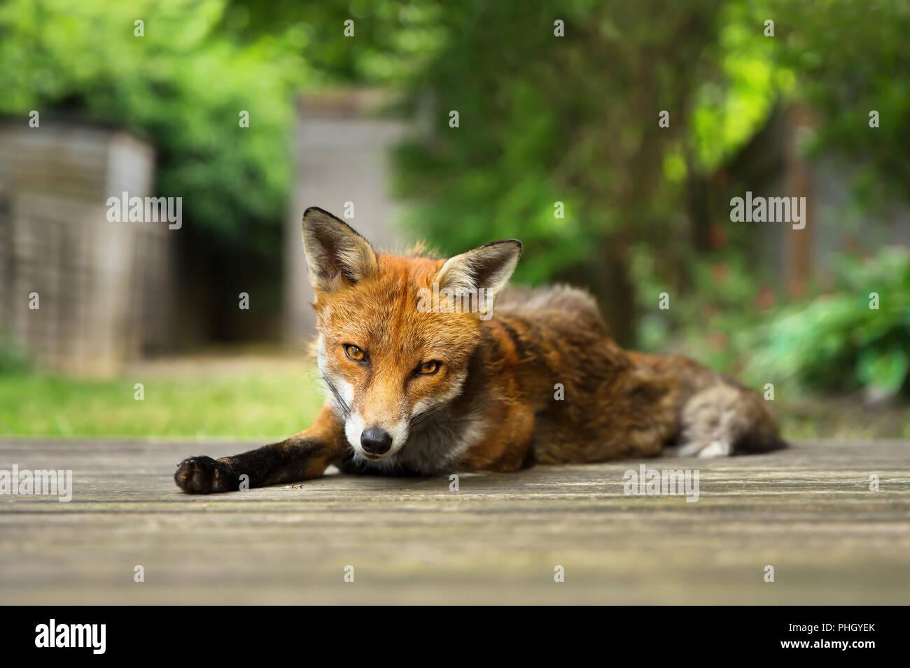 Cierre de un zorro rojo tumbado en el patio techado en el patio de atrás, en el Reino Unido. Imagen De Stock