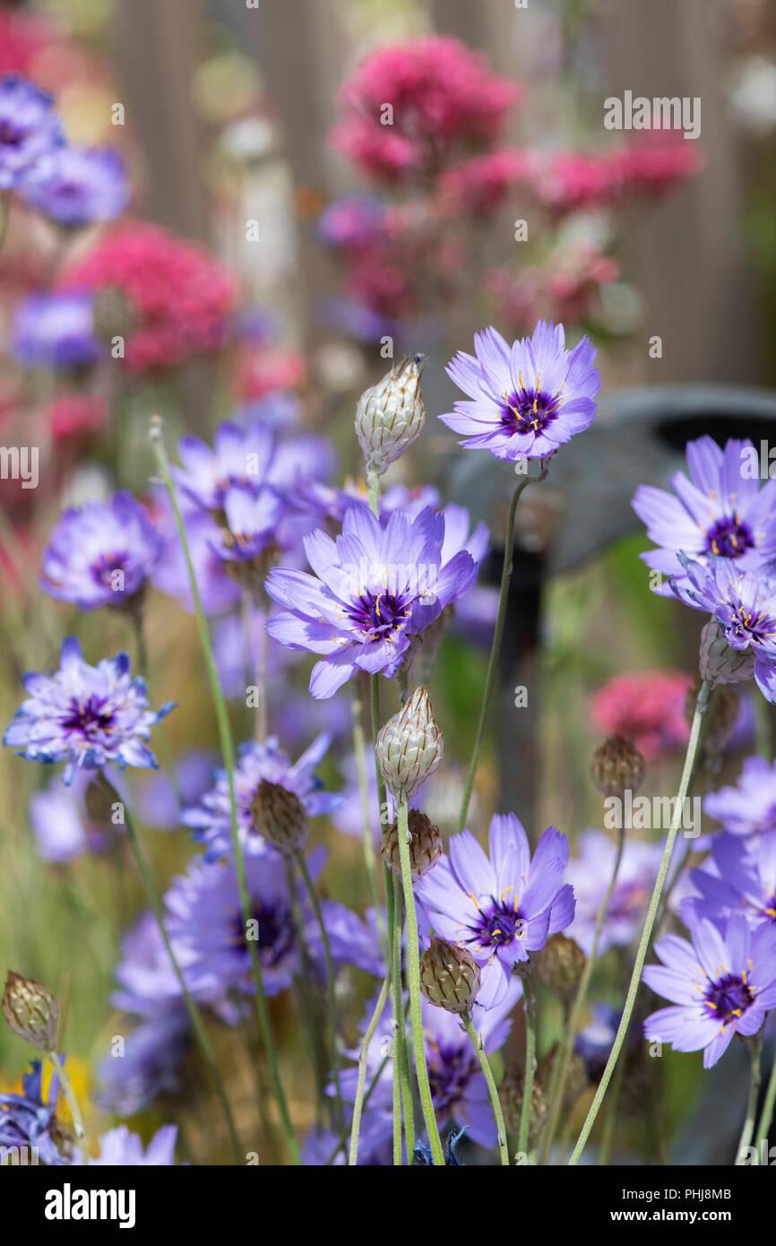 Catananche caerulea 'amor' azul . Cupids dart flor. Planta de amor Imagen De Stock