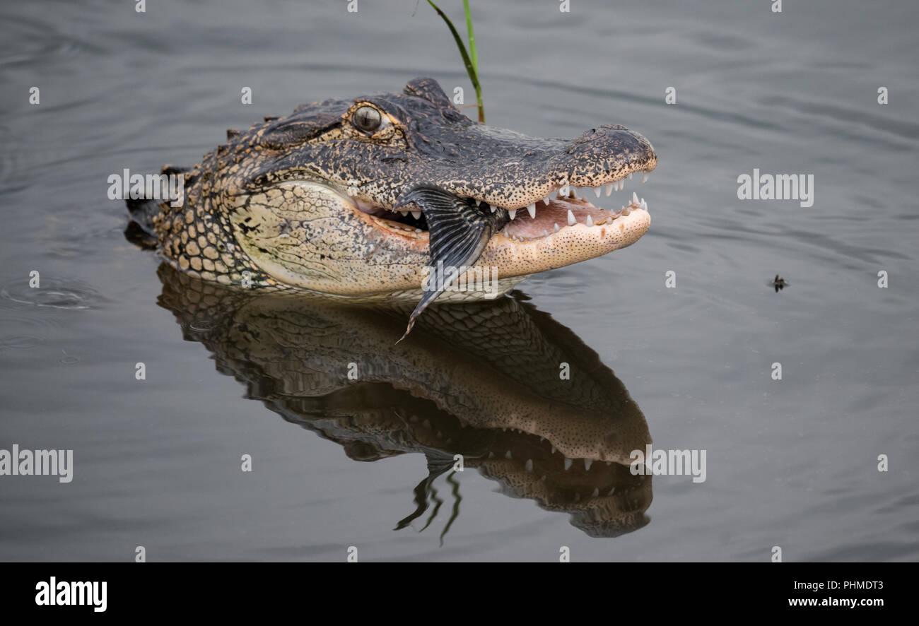 Cocodrilo en el agua en busca de alimentos Imagen De Stock