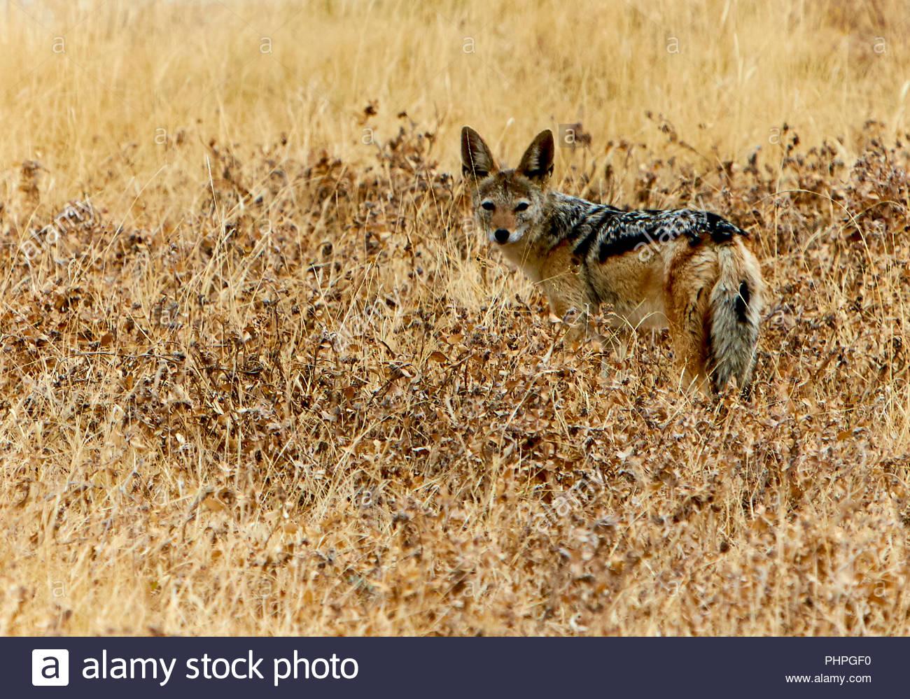 El Chacal en el campo Imagen De Stock