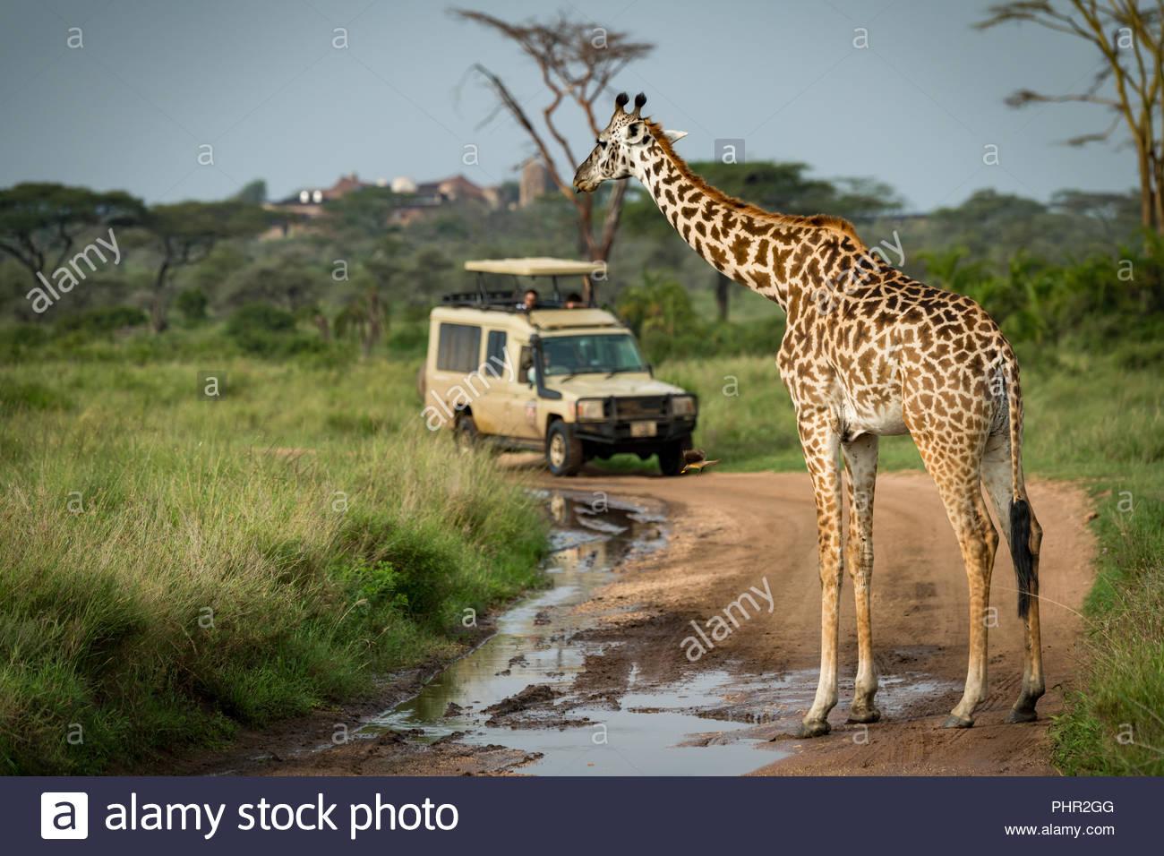 Jirafa Masai bloqueando la vía inundadas para jeep Imagen De Stock