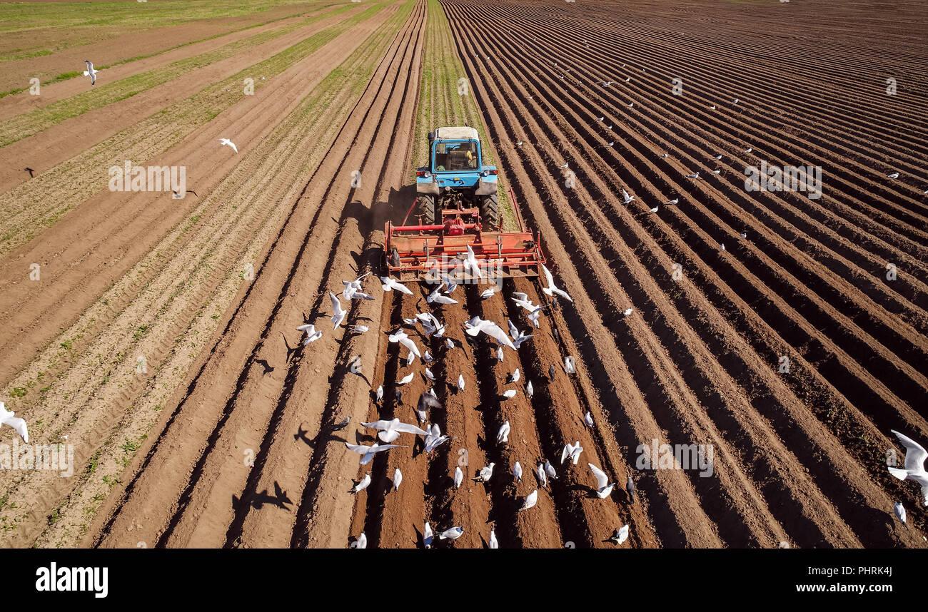 El trabajo agrícola en un tractor agricultor siembra grano. Hambre son aves volando detrás del tractor, y comer el grano de la tierra cultivable. Foto de stock