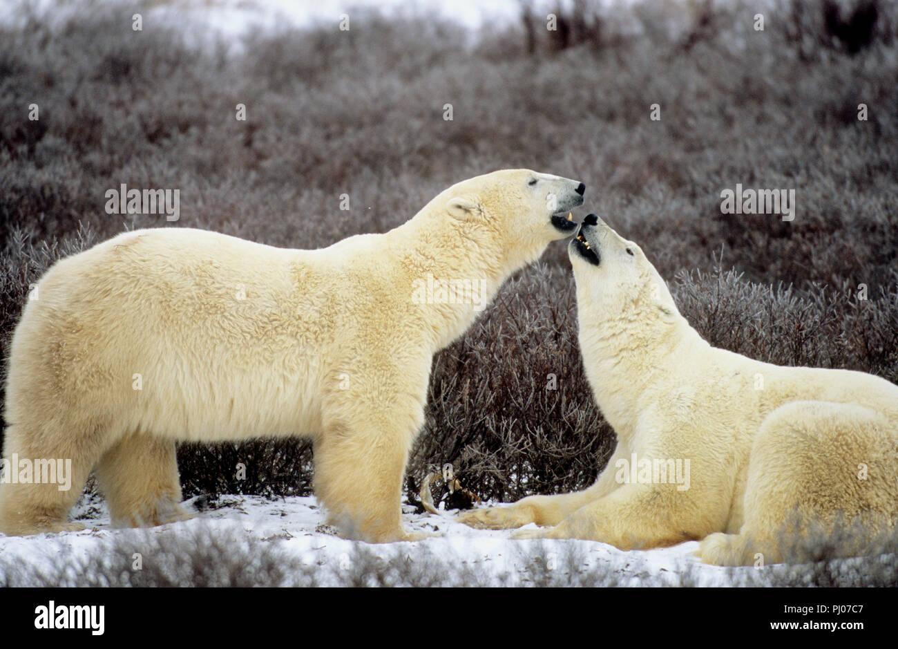 Los osos polares playfighting cerca de Churchill, Manitoba, Canadá Imagen De Stock