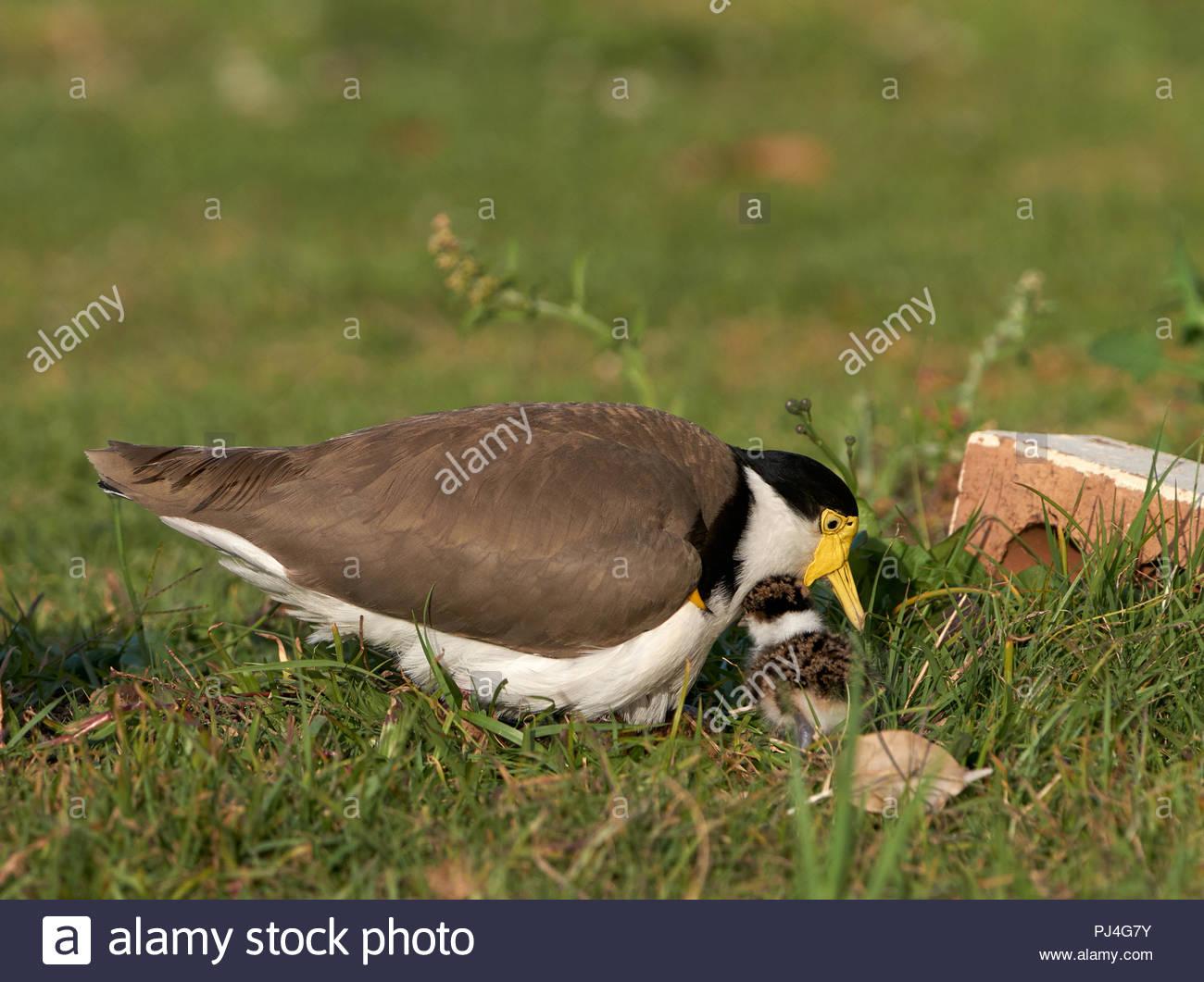 Un australiano Patinegro (Vanellus millas) - Masked Lapwing - sentado en su nido, con un polluelo recién eclosionadas emplazado junto; bajo el sol de la tarde. Imagen De Stock