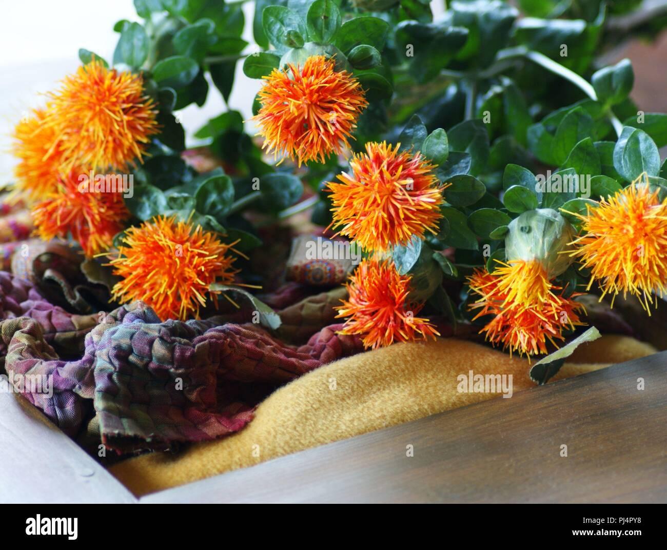 Fleurs naranjas de Carthamus tinctorius dans la decoración de la onu de tissus en soie, flores anaranjadas de Carthamus tinctorius en anu decoración de tela de seda, Imagen De Stock