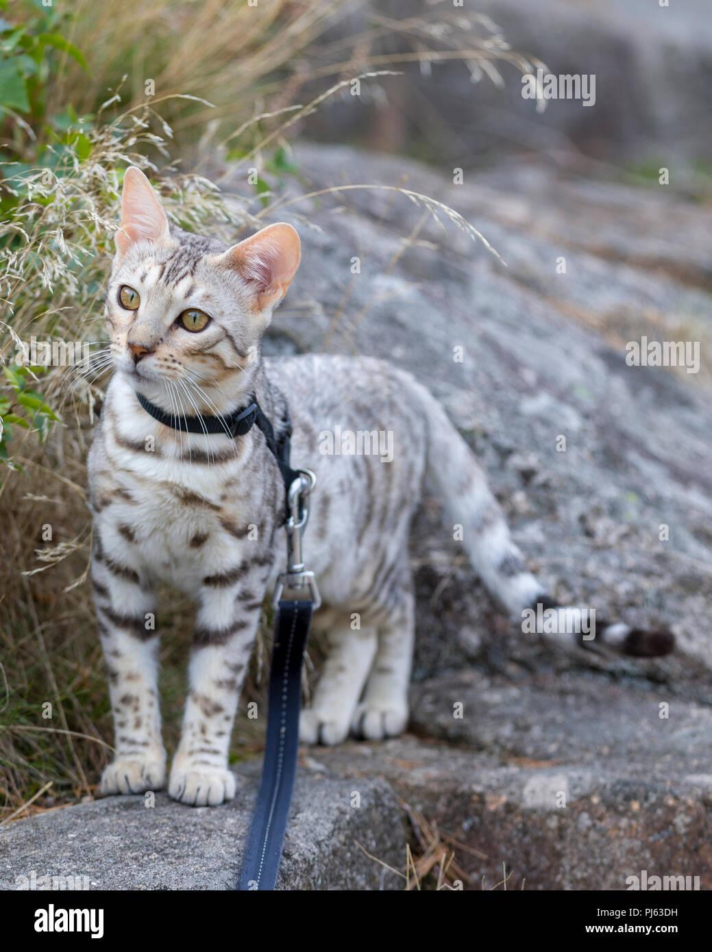 Hermoso macho plata gatito de Bengala retrato al aire libre alrededor de los 6 meses de edad. Imagen De Stock