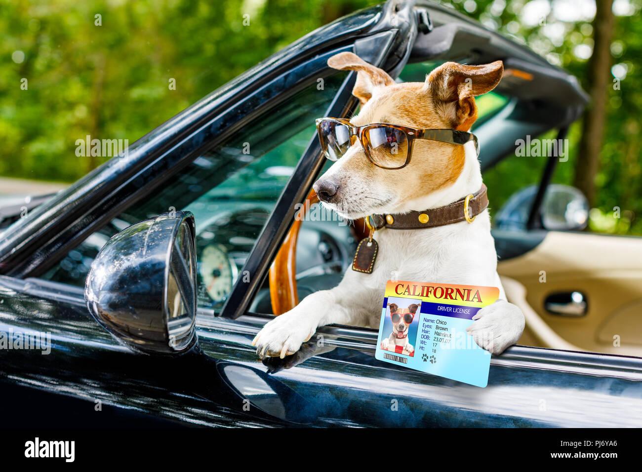 Jack Russell perro en un automóvil cerca del volante, listo para conducir rápido y guardar , con el cinturón de seguridad abrochado, con la licencia de conductores Imagen De Stock