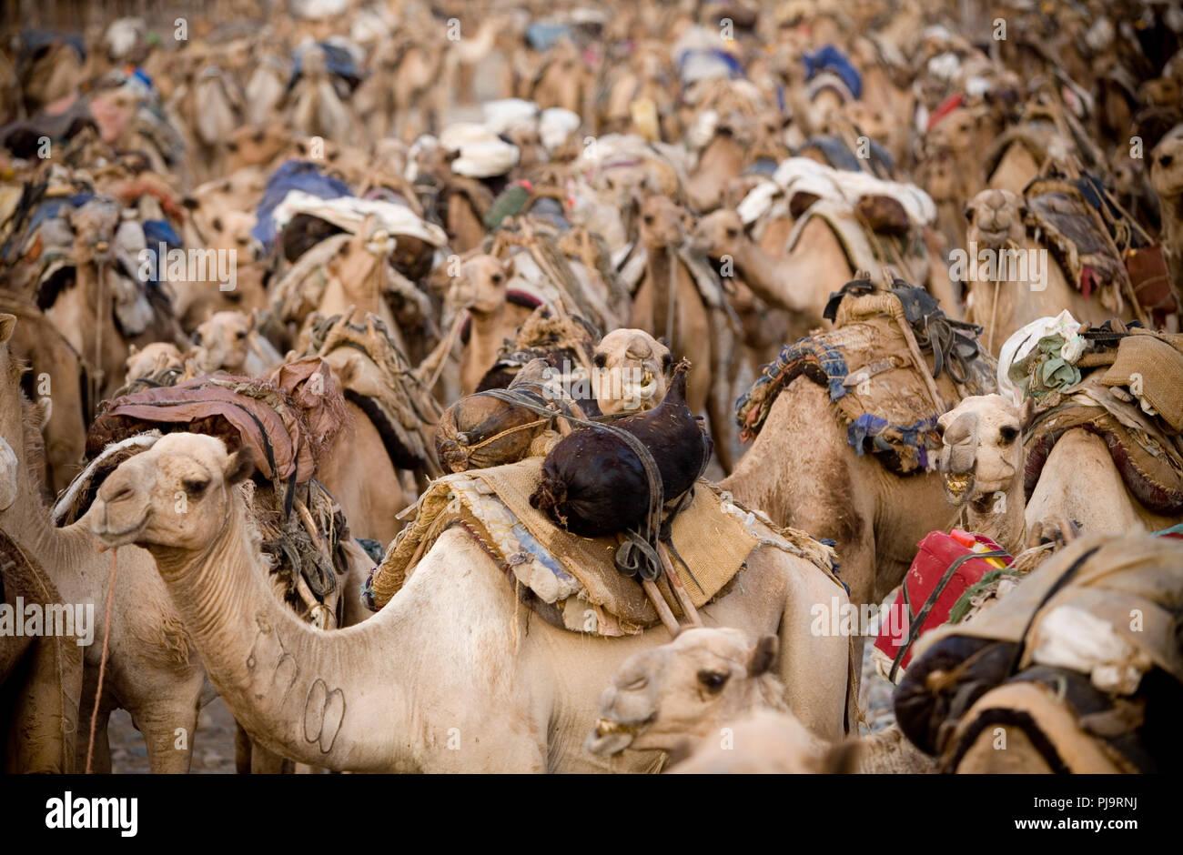 Una caravana de camellos viajes a la Depresión de Danakil para recolectar sal, en el norte de Etiopía, 3 de junio de 2010. Imagen De Stock