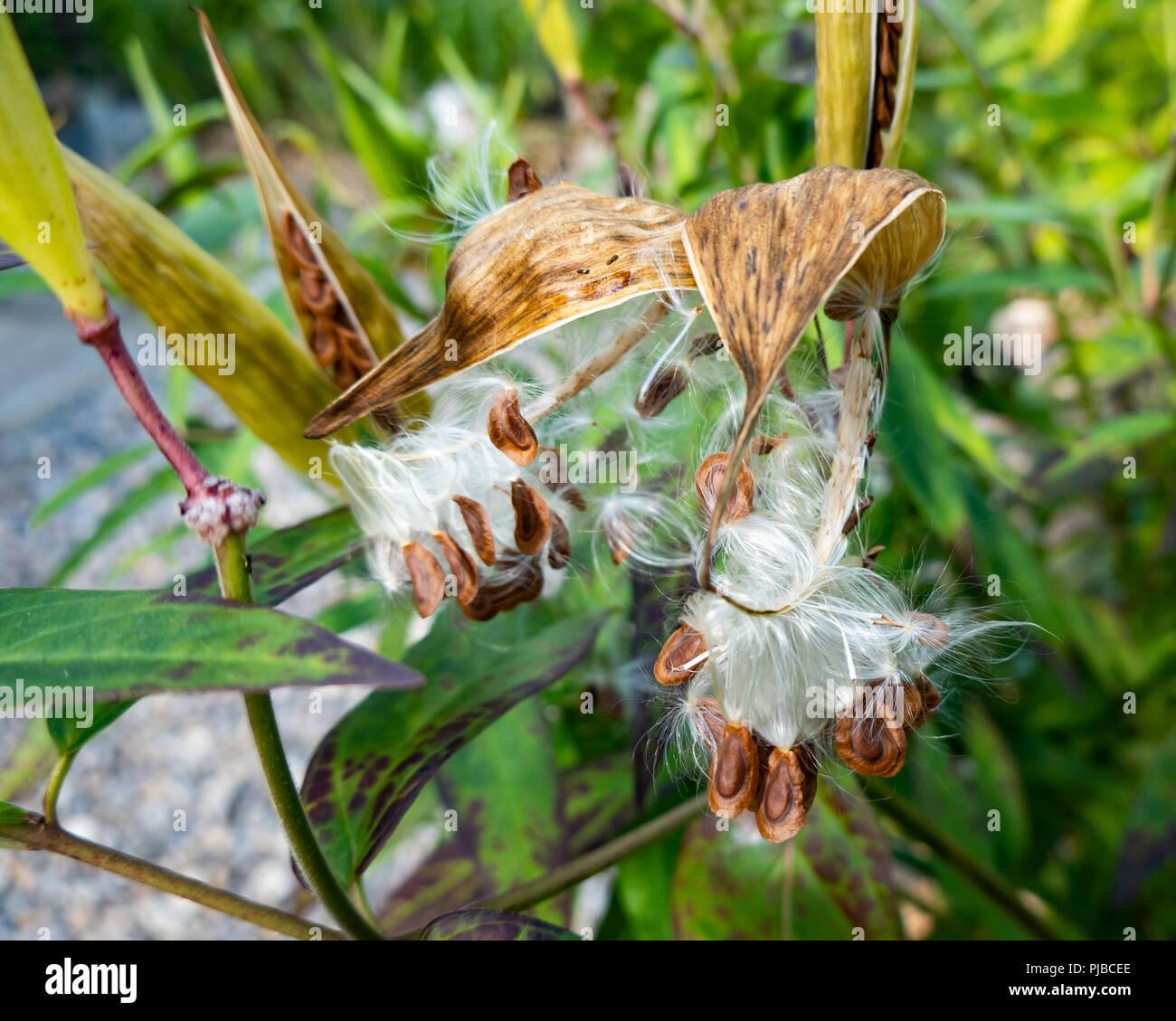 Abrir las vainas en un pantano asclepias planta, Asclepias incarnata, en un jardín en el especulador, NY, Estados Unidos con la dispersión de las semillas para formar nuevas plantas. Foto de stock