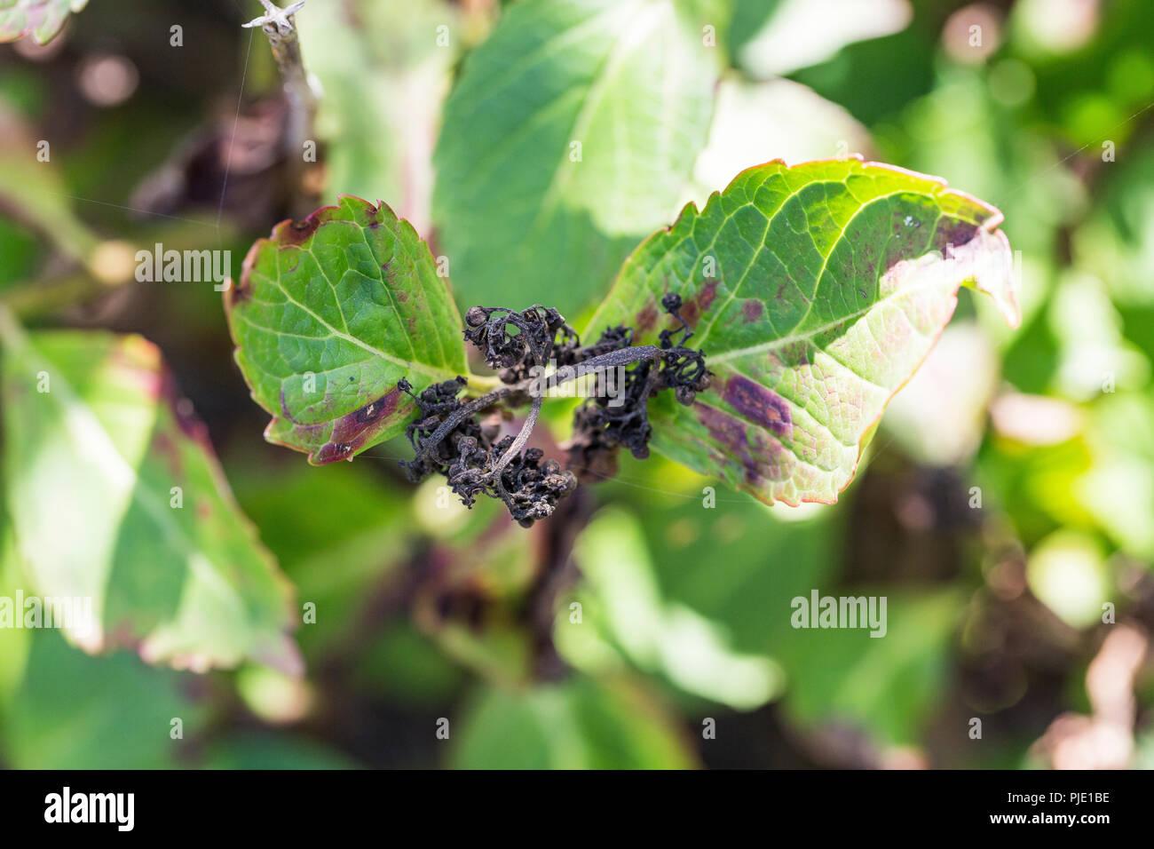 hortensias enfermedades Enfermedad De Flor Hydrangea Hortensia Debido A La Falta De
