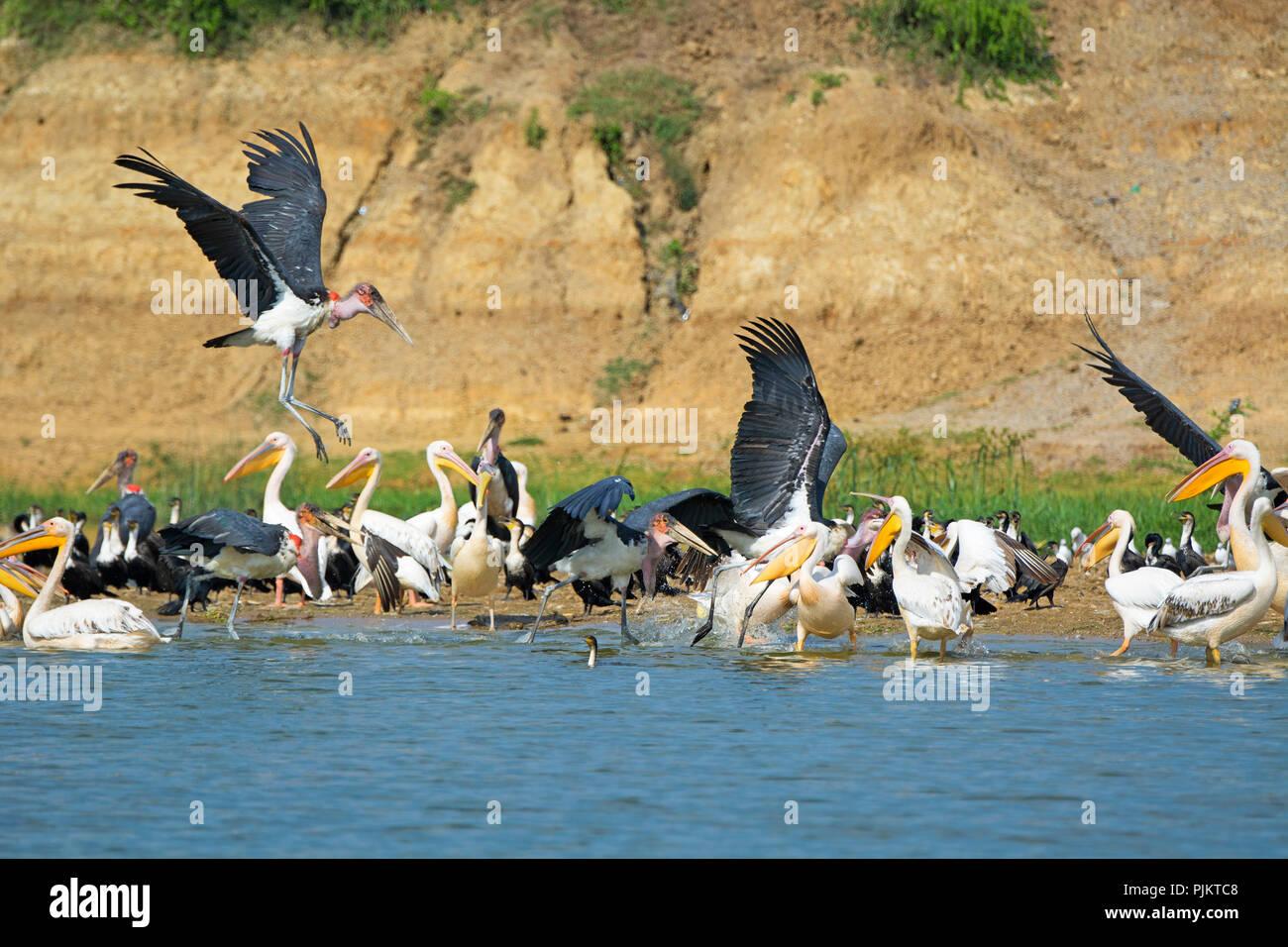 Gran pelícanos blancos, Pelican, Blanco Breasted Cormorán, cormoranes y cigüeñas Marabú, Aves Kazinga Channel, el Parque Nacional Queen Elizabeth, Uganda Imagen De Stock