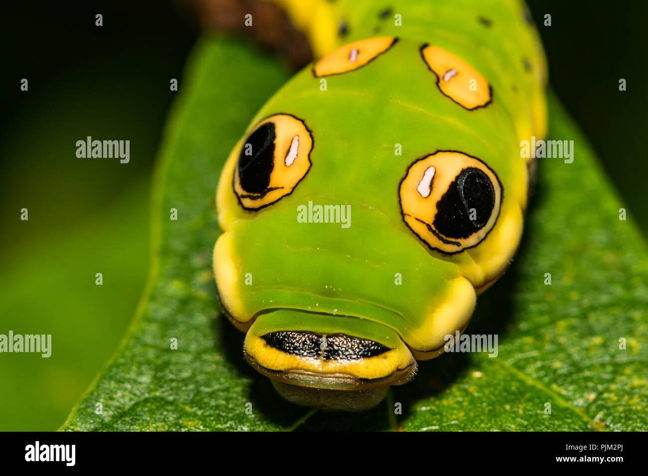 Especie Spicebush Butterfly Caterpillar (Papilio Troilo) Foto de stock
