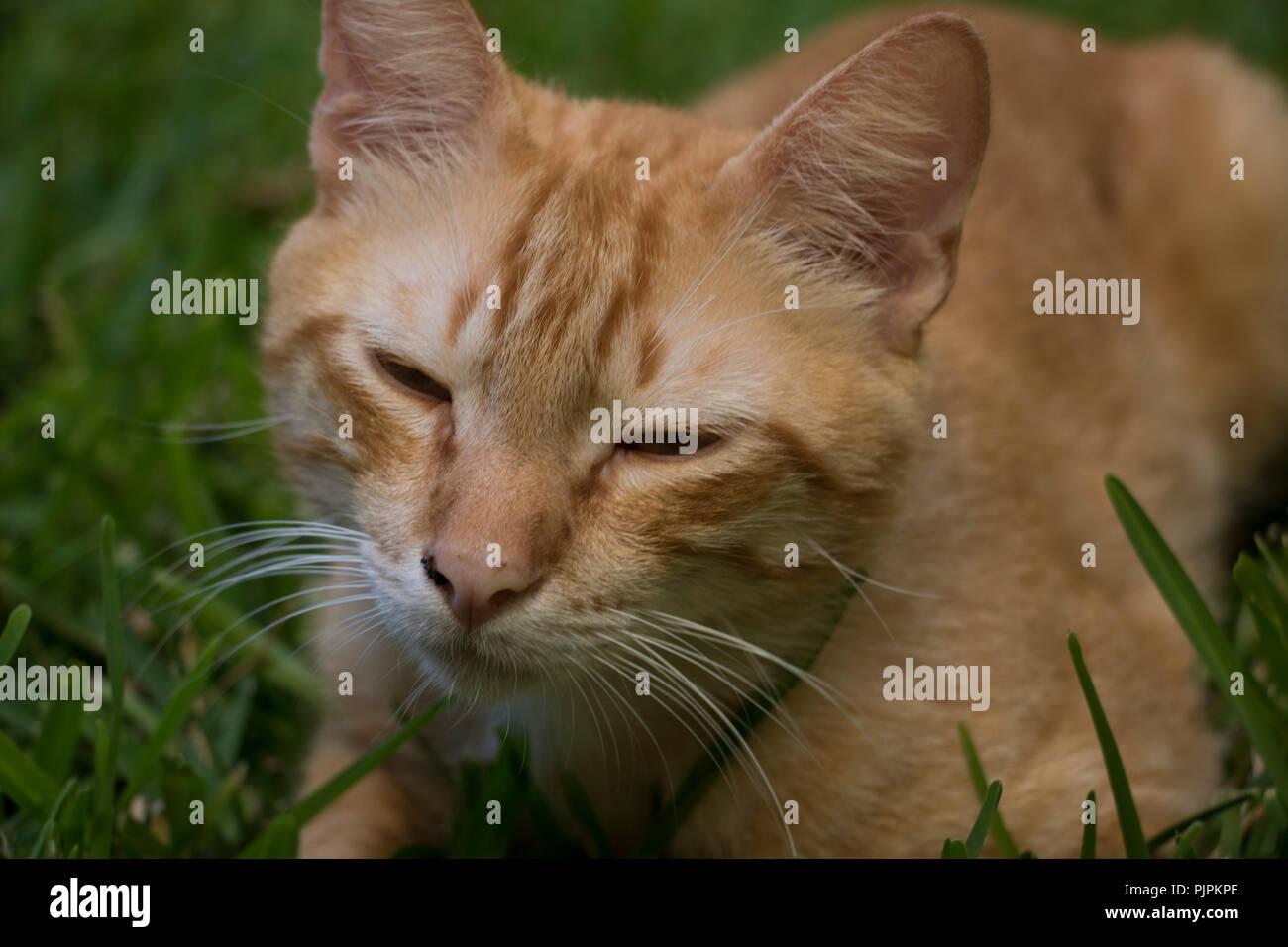Cat dormirse después de un largo día. Cat Purring purring con los ojos cerrados. Imagen De Stock