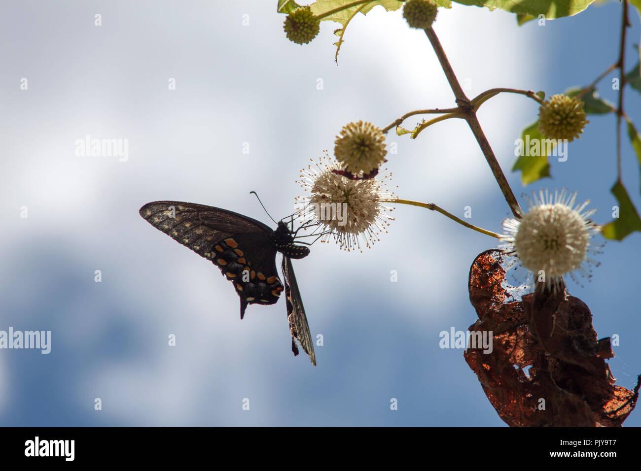 Una mariposa se alimenta en una flor de azahar contra un brillante, el cielo nublado en Bayou Coquille, al sur de Nueva Orleans, Luisiana. Foto de stock