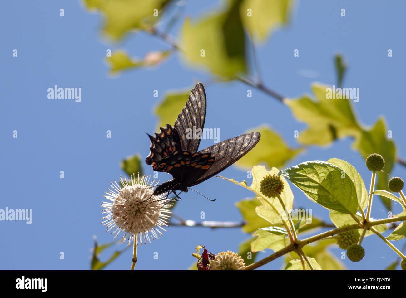 Una especie de mariposa se alimenta en una flor de azahar contra un brillante, el cielo nublado en Bayou Coquille, al sur de Nueva Orleans, Luisiana. Foto de stock