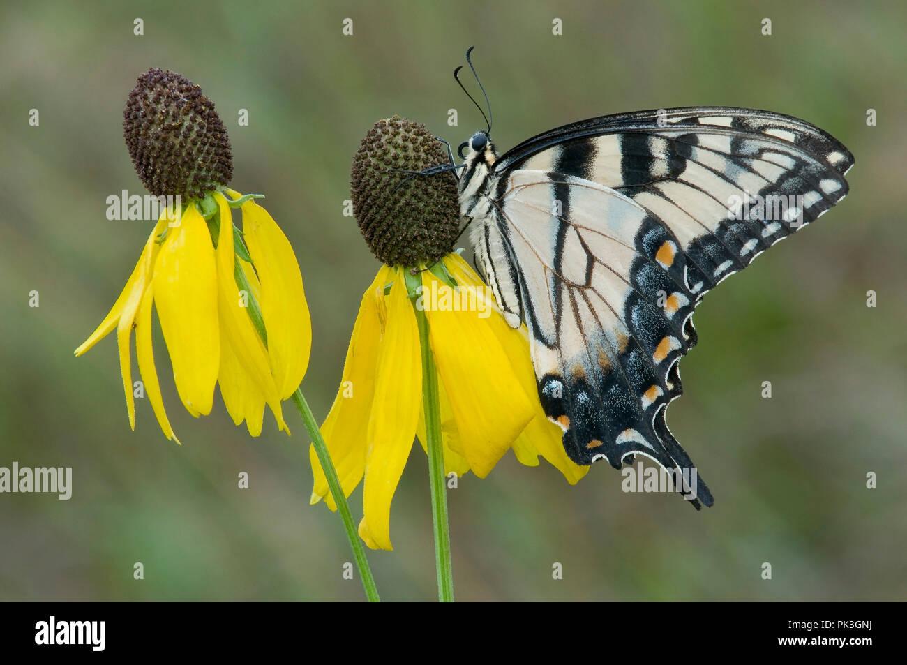 Tigre oriental especie Butterfly (Papilio glaucus) de cabeza gris (Ratibida Coneflower pinnata), E EE.UU., por omitir Moody/Dembinsky Foto Assoc Foto de stock